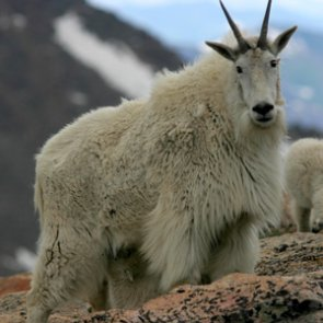 Colorado studies disease in mountain goats