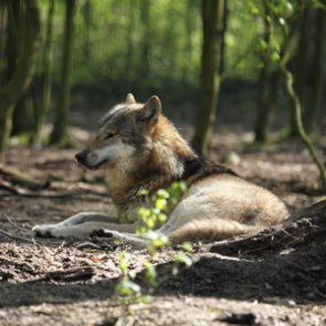 Will Colorado voters get to decide on wolves?