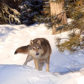 SCI raises funds to combat Colorado wolf ballot initiative