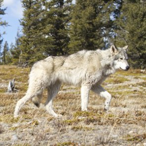 Could wolf scat become a public health crisis?