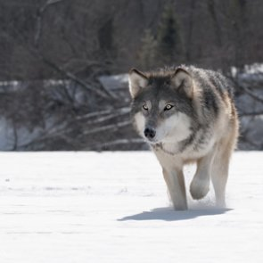 Colorado wolf ballot may have enough support