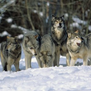 Former Colorado wildlife commissioner says reintroducing wolves is a bad idea