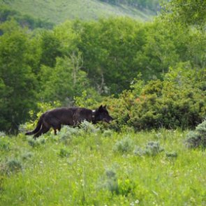 Recent gray wolf sightings in Colorado