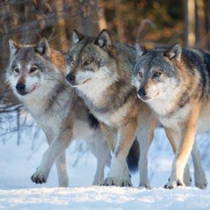 Wolves confirmed in Colorado