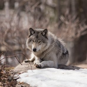 Organizations unite against CO wolf reintroduction initiative