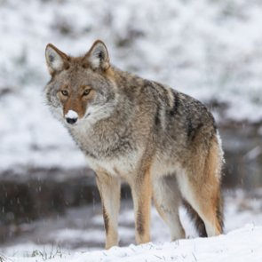 California bans coyote hunting contests with prizes