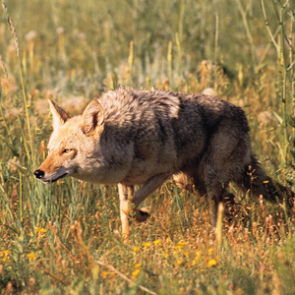 Coyote hunting contest ban in Nevada