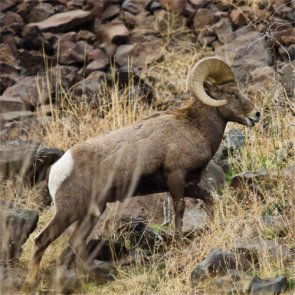 California bighorn sheep numbers drop