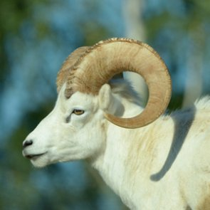 Wild Sheep Foundation wants domestic sheep and goats regulated in Alaska