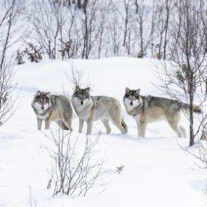Immediate ban on killing wolves near Denali National Park