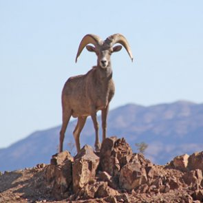Utah Wildlife board approves specific unit plans to help bighorn sheep