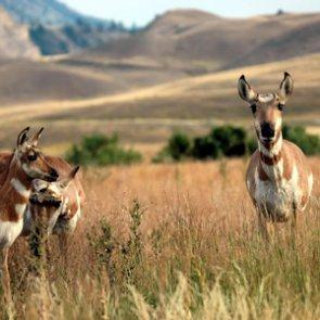 Nevada wildfires lead to emergency depredation hunts