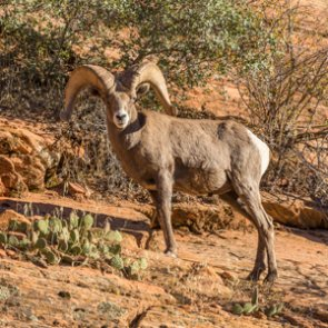 #DontBombTheBighorn campaign ends Nevada bombing range expansion