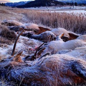 21 elk drown after falling through ice