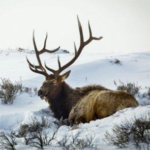 Utah proposes changes for 2016 elk season