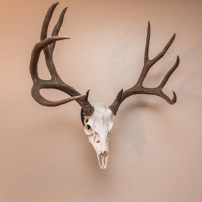 Oregon approves sale of big game mounts