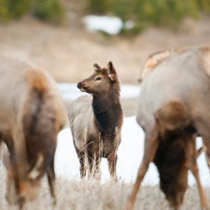 First case of CWD confirmed in Montana elk