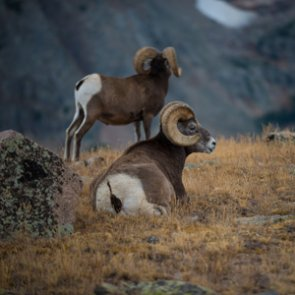 New study finds differences in bighorn sheep migrations