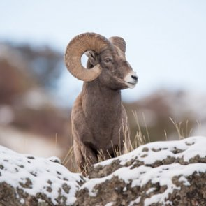 Montana considers one bighorn sheep hunting permit in Elkhorn Mountains