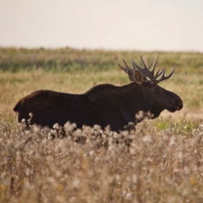 Idaho seeks comments for moose management plan