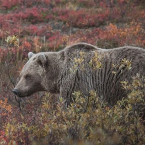 Railroad sued over grizzly bear deaths in Montana