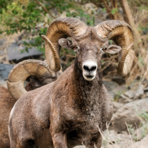 APPLICATION STRATEGY 2017: Montana Sheep, Moose, Goat, Bison