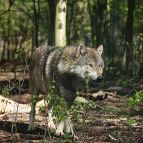 Research confirms genetic purity of Mexican wolves