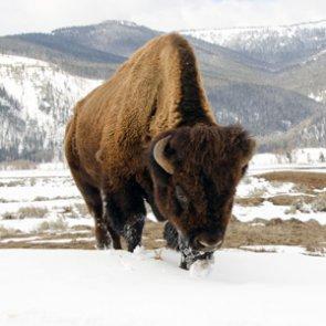 Oregon couple guilty of poaching Grand Teton bison