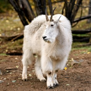 Grand Teton's mountain goat cull is underway
