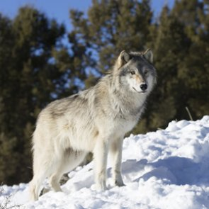 Identity confirmed: Wolf shot in Colorado