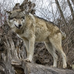 Gray wolf confirmed in Arizona
