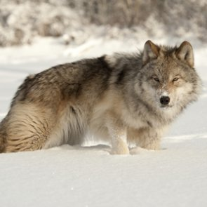 Confusion between wolves and coyotes