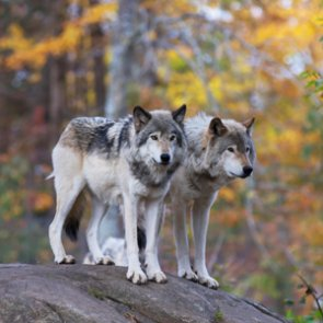 Great Lakes wolves retain federal protections
