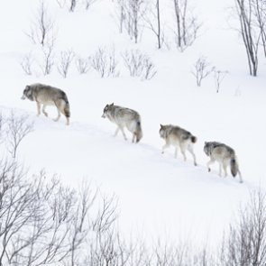 Great lakes wolves return to endangered species list