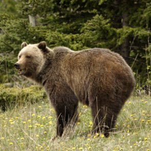 FWS seeks public comment on grizzly bear habitat before delisting