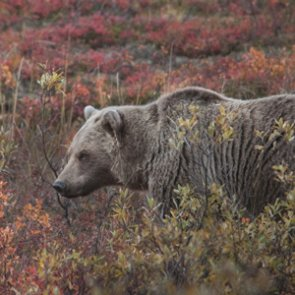 Public sentiment shuts down British Columbia grizzly bear hunts