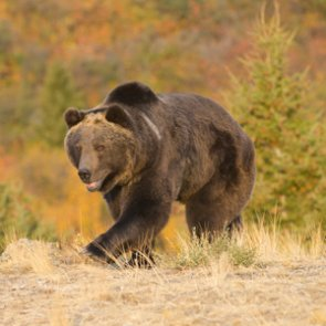 Grizzly bear killed in Montana following attack