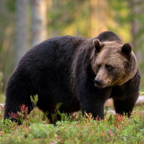 Judge rules grizzly removal can remain in Greater Yellowstone
