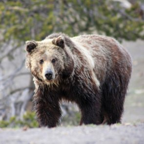Montana FWP reports nearly 50 grizzly deaths have occurred so far in 2018
