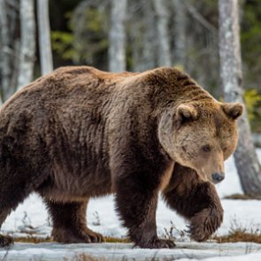 Government ordered to review grizzly bear protections
