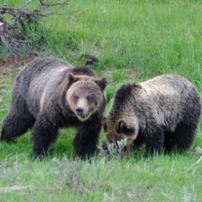Montana closer to delisting grizzly bears