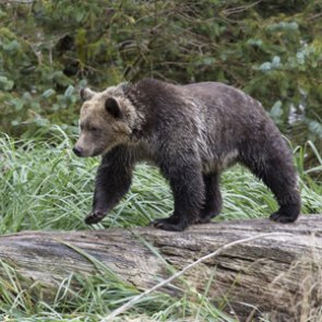 Tracking grizzly bear and elk hunter interactions