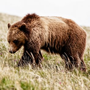 Are grizzly bears ready for delisting?