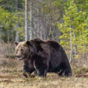 Biologists trap and collar grizzlies for required monitoring
