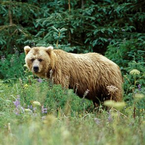 Grizzlies returning to North Cascades?