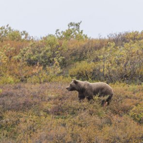 An Idaho grizzly bear moves into area where grizzlies haven't been found in a long time