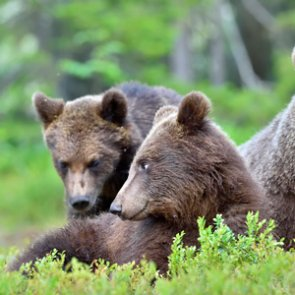 DOI faces lawsuit for dropping Northern Cascades Ecosystem grizzly reintroduction