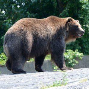Will Yellowstone grizzlies be delisted in 2016?
