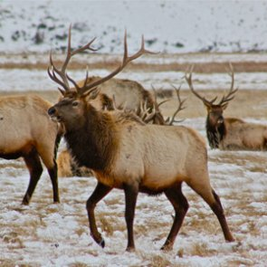 Is FWS shutting down Wyoming's supplemental elk feeding program?