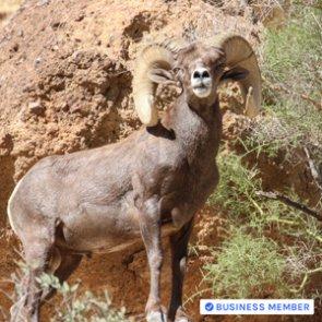 Become an expert at field judging bighorn sheep